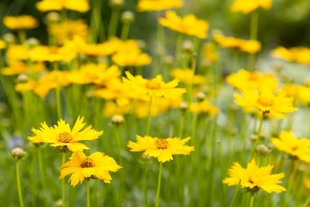 Large-Flowered Tickseed Flowers Reklamní fotografie