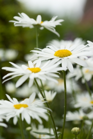 Closeup of a group of Daisies