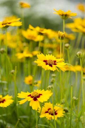 tickseed: Lance-Leaved Tickseed Flowers Stock Photo