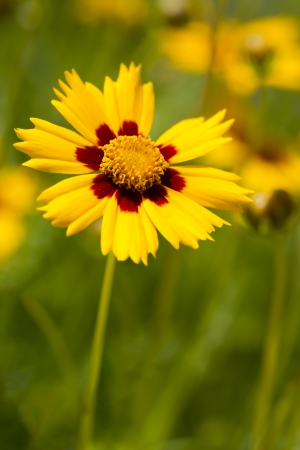 tickseed: Closeup of a Lance-Leaved Tickseed Flower