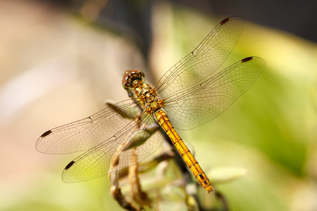 Closeup photo of a Vagrant Darter dragonfly  Sympetrum Vulgatum  resting on unidentified vegetation  Stock Photo