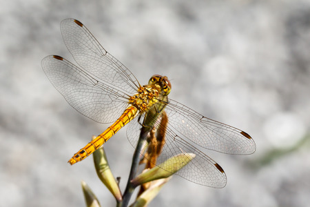 libellulidae: Closeup photo of a Vagrant Darter dragonfly  Sympetrum Vulgatum  resting on unidentified vegetation  Stock Photo