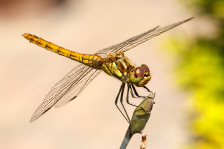 Closeup photo of a Vagrant Darter dragonfly  Sympetrum Vulgatum  resting on unidentified vegetation  photo