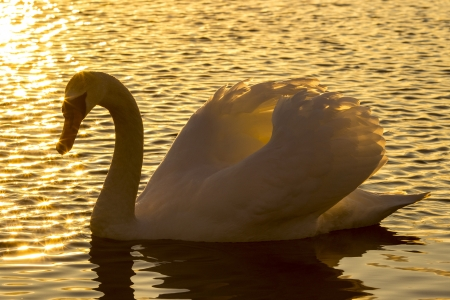 birds lake: swan in the sunset