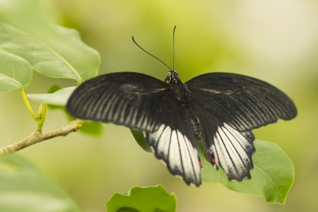 black butterfly photo