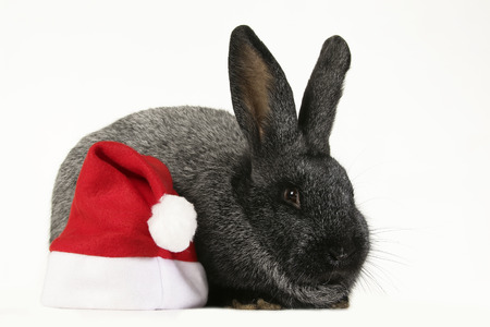 Bunny with the red santa claus hat