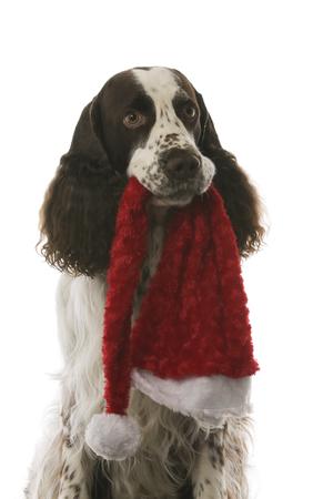 English Springer Spaniel - Christmas dog