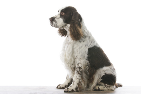 english springer spaniel in studio