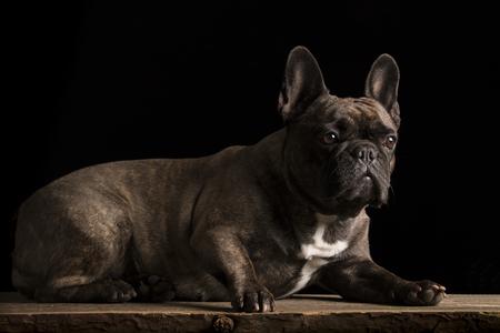 Französische Bulldogge - Studioaufnahme Standard-Bild - 80319875