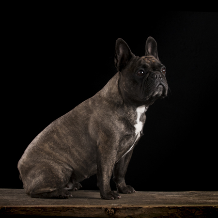 French bulldog - studio shot