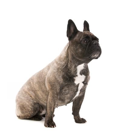 Bulldog francés - disparo de estudio Foto de archivo - 80319855