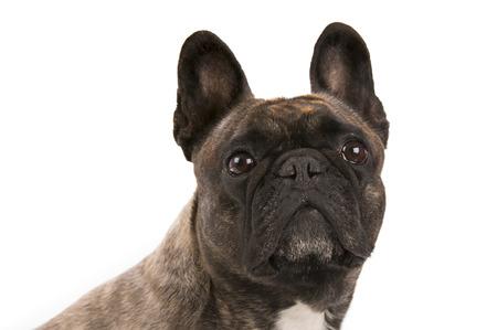 French bulldog - studio shot