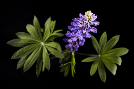 beautiful lupine flowers. Beautiful photo studio shot