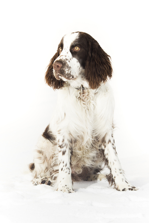 Young Springer Spaniel In Winter Фото со стока