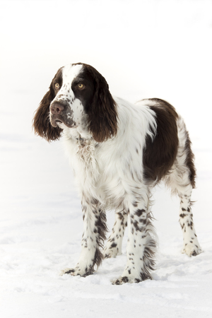 Young Springer Spaniel In Winter 免版税图像 - 102381717