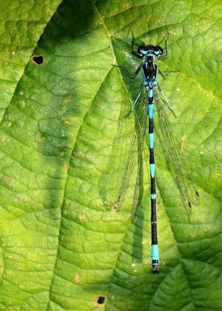 zygoptera: damselfly on a leaf