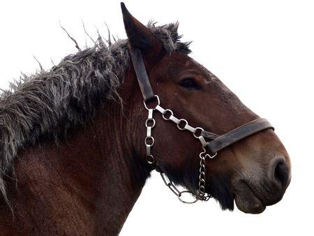 headcollar: isolated old retired draft horse