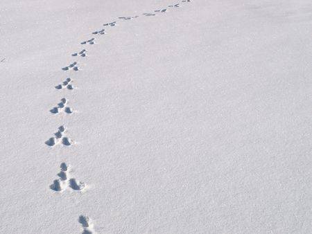 trailway: animal tracks fading away in the fresh snow