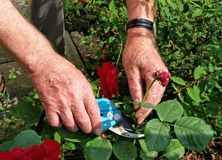 rose bush: Gardening the rose bush