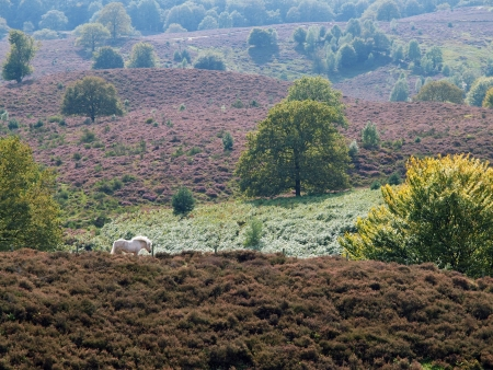 vegatation: Wild horse grazing in national park de veluwe, Netherlands
