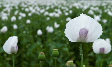 Panoramic view of poppy field, focus on the first poppy  photo