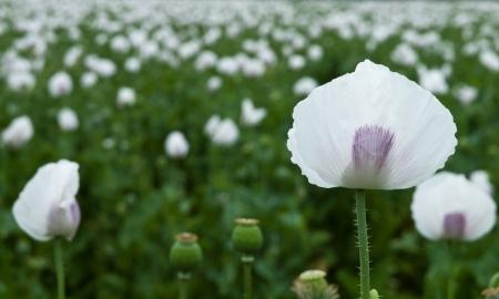 opium poppy: Panoramic view of poppy field, focus on the first poppy