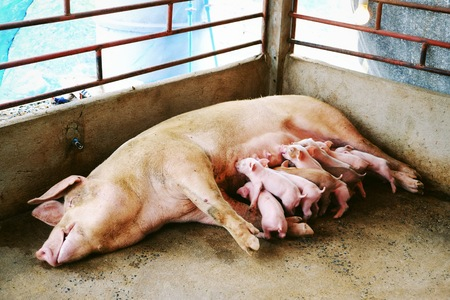 piglets suckling sow in the farm photo
