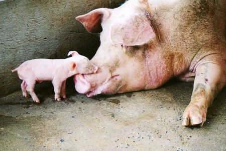 sow with piglet in the farm photo