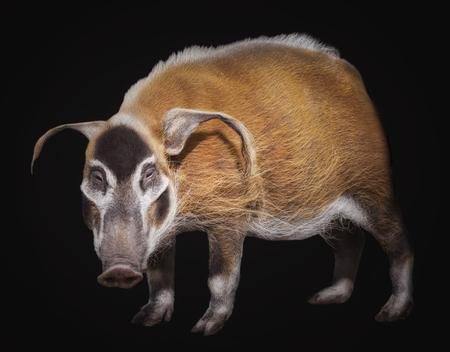 bush hog: The bush pig