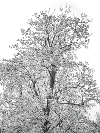 white winter: Still life of a white winter tree