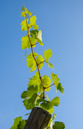 Growing vine plants in summer at the vineyards