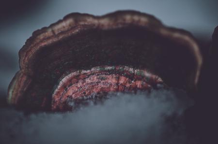 Ice on bracket fungus close-up 免版税图像 - 115818047