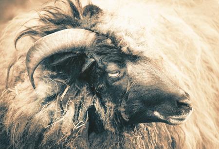 Big horned sheep portrait
