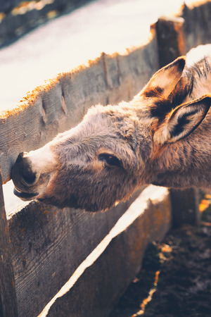 Beautiful donkey nibbling on a wooden fence