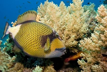 Titan Triggerfish Stock fotó
