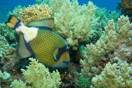 Titan Triggerfish closeup photo