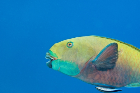 Steepheaded Parrotfish (juvenile) (Scarus gibbus) and Common Cleaner Wrasse (Labroides dimidiatus).jpg