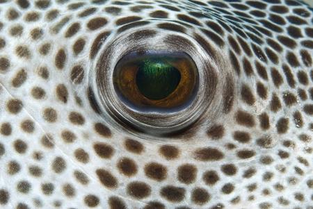 Giant Puffer eye (Arothron stellatus)