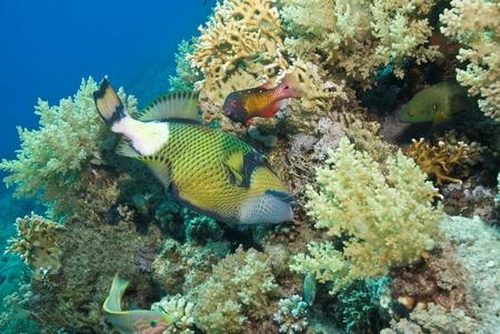 Titan Triggerfish and Dianas Hogfish (Bodianus diana) Stock fotó