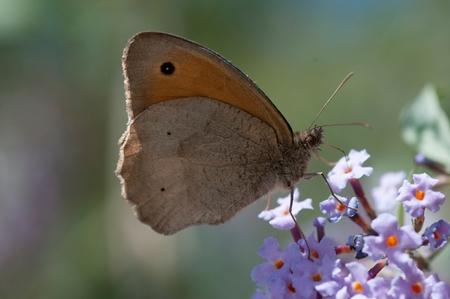 butterfly on a buddleia bush