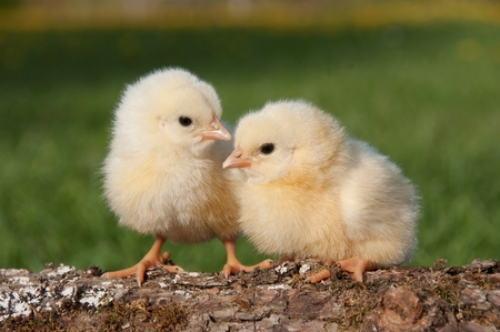 Two chicks on a log Stockfoto