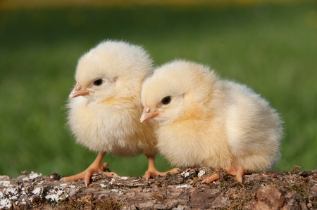 Two chicks on a log Stock Photo