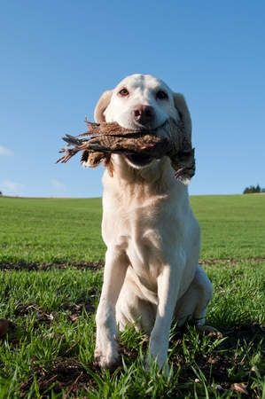Hunting dog with a pheasant in its mouth