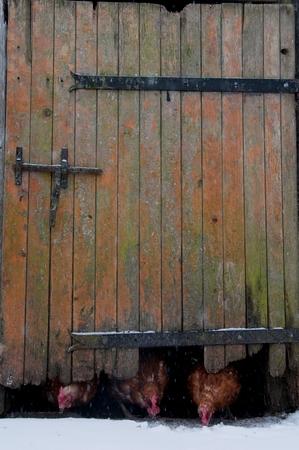 Chickens coming underneath a barn door