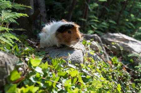 A guinea pig in a woodlands Stock Photo