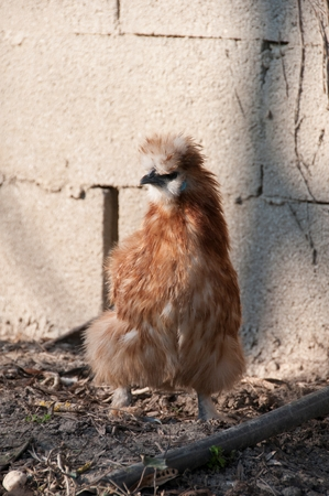 A chicken on a farm Stock Photo