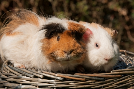 Guinea pigs in a basket Stock Photo