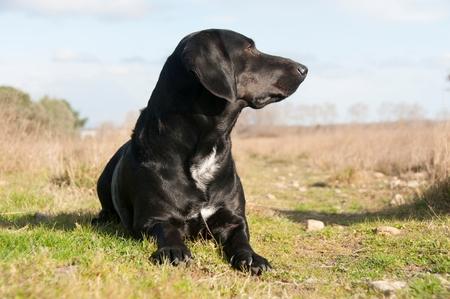 A black retriever sitting