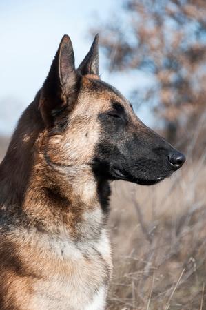 A german shepherd sitting Stock Photo