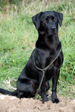 A black retriever sitting waiting for its owner
